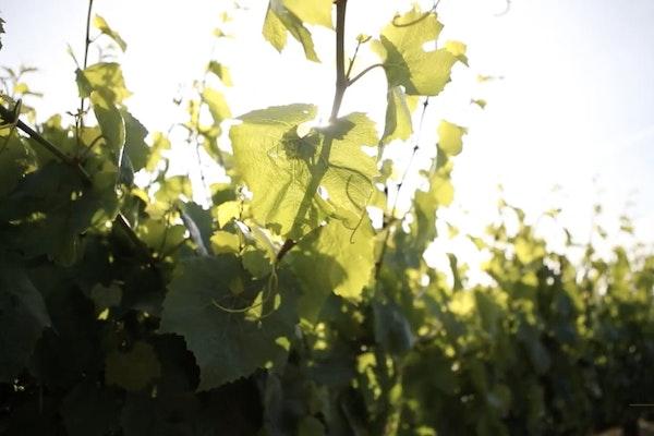 Zoom Vineyard Video Background